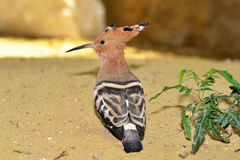 African hoopoe bird Stock Image