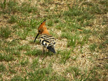 African Hoopoe 1 Royalty Free Stock Photos