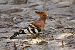 African Hoopoe. In the Etosha national park in Namibia Stock Photo
