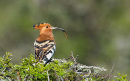 African Hoopoe with food in it`s beak Stock Images