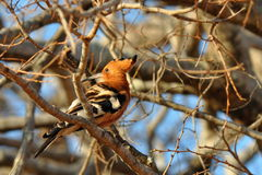 African hoopoe in Kruger national park, South Afri Stock Images