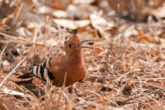 African Hoopoe with prey Royalty Free Stock Images