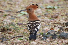 African Hoopoe Royalty Free Stock Image