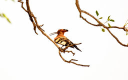 African Hoopoe in a tree Stock Image