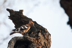 African Hoopoe on a tree trunk Royalty Free Stock Photos