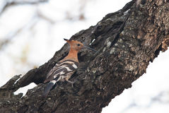 African Hoopoe on a tree Stock Photo