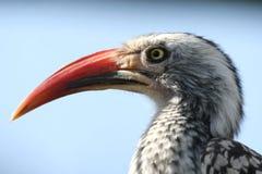African hornbill bird Stock Photos