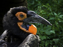 African Hornbill Stock Photo