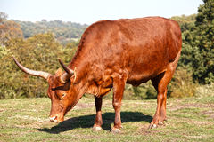 African horned bull Royalty Free Stock Images