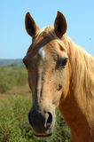 African horse Royalty Free Stock Image