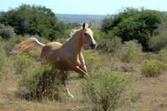 African horse galloping Royalty Free Stock Photo