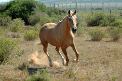 African horse running Royalty Free Stock Images
