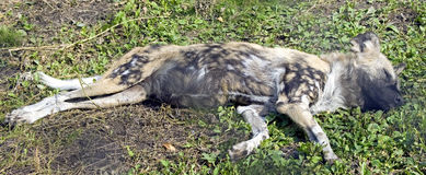 African hunting dog 1 Stock Photo