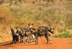 The African Hunting Dog. A small group of African Hunting dogs stops during a brief moment on a mud road of Tsavo West National Park before vanishing in the Stock Photo