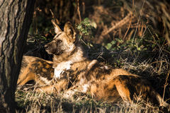 African Hunting Dog Stock Photo