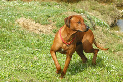 African hunting dog. A full body of a strong Rhodesian Ridgeback hound dog with alert expression in the face turning to his left while hunting in nature of South Royalty Free Stock Photos