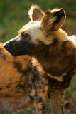 African Hunting Dog Royalty Free Stock Photos