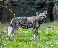 African hunting dog 9 Stock Photo