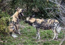 African hunting dogs 1 royalty free stock images