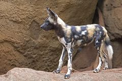 African Hunting Dog Stock Image