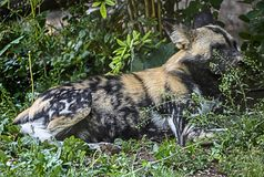 African hunting dog in the bush 1 royalty free stock photos