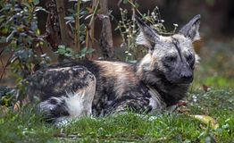 African hunting dog 7 Stock Image