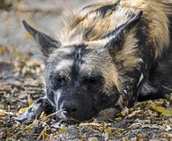 African hunting dog 8 Stock Photography
