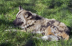African hunting dog 4 Stock Photo