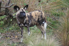 African Hunting Dog - Lycaon pictus Royalty Free Stock Image