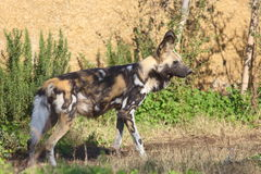 African hunting dog Stock Images