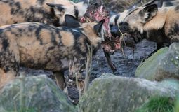 African hunting dog pack eating horse carcas fighting Stock Image
