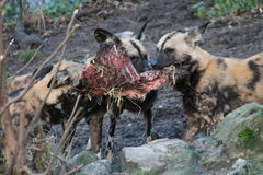 African hunting dog pack eating horse carcas Stock Photos