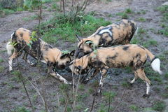 African hunting dog pack eating horse carcas Stock Photography