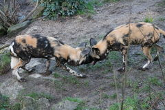 African hunting dog pack eating horse carcas Stock Images
