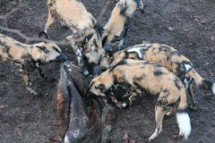 African hunting dog pack eating horse carcas Stock Photo