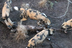 African hunting dog pack eating horse carcas Stock Image