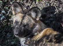African hunting dog`s head 1 stock images