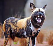 African Hunting Dog showing teeth Royalty Free Stock Photography
