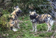 African hunting dogs 2 Royalty Free Stock Image