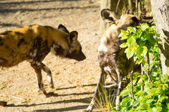 African hunting dogs. In a compound stock photography