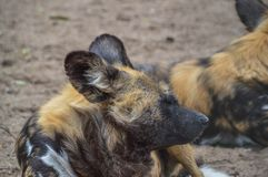 African Hunting Dogs At The Gate Artis Zoo Amsterdam The Netherlands.  stock photos