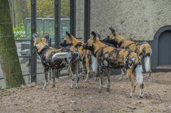 African Hunting Dogs At The Gate Artis Zoo Amsterdam The Netherlands.  royalty free stock images