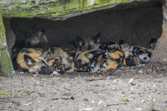 African Hunting Dogs At The Gate Artis Zoo Amsterdam The Netherlands.  stock photo