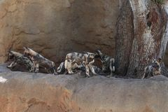 African hunting dogs royalty free stock image