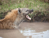 African hyena Stock Images