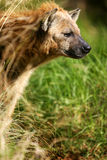 African Hyena. A shot of an African Hyena in the wild Stock Photo