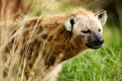 African Hyena. A shot of an African Hyena in the wild Royalty Free Stock Photography