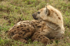 African hyena Royalty Free Stock Photo