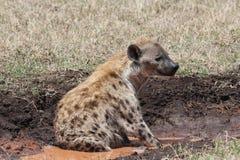 African hyena Stock Photos