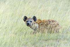 African Hyena. In a shroud in their natural habitat Stock Image